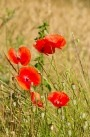 flanders field poem. poem quot;In Flanders Fieldsquot;